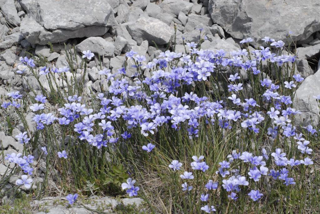 Linum Katiae Monte Pollino