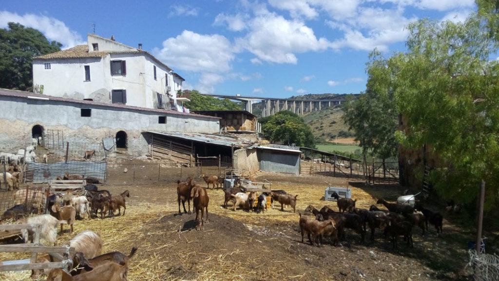 schapen en geiten bij Agostino Russo