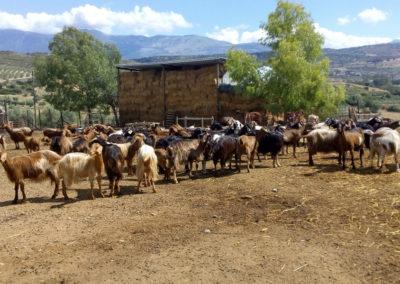 Handgemaakte schapen en geitenkaas van Russo Agostino
